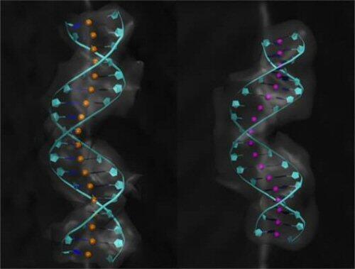 Demuestran que un fragmento de nuestro genoma tiene la capacidad de duplicarse en todo el ADN