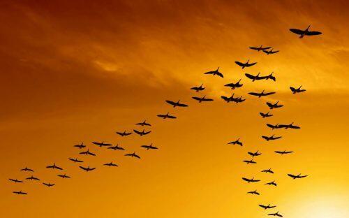 Descubren porqué los pájaros vuelan formando una perfecta V