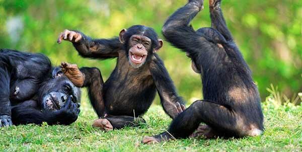 القرد من الحيوانات اللطيفة والاجتماعية التي تعيش في مجموعات كبيرة ، ولكنه يستطيع مهاجمة الإنسان وقتله بسهولة إذا شعر أن هناك تهديد حقيقي على حياته.