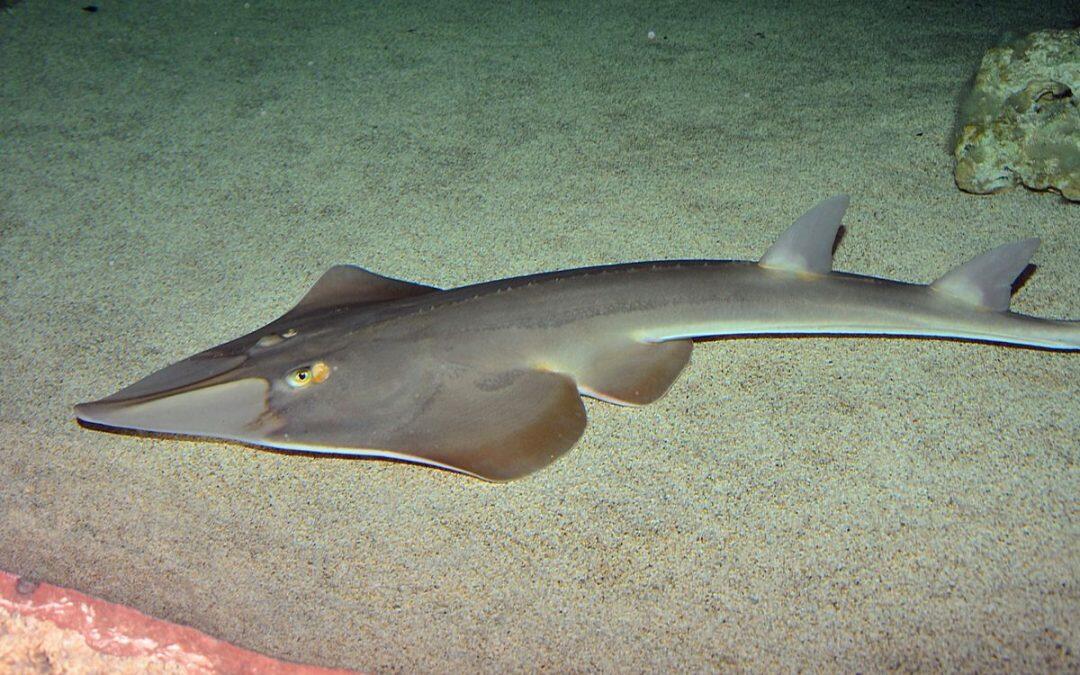 سمكة المر هي نوع من انواع أسماك القرش المفيدة للتنوع البيئي، مهددة بالإنقراض، على اللائحة الحمراء ويجب عدم صيدها
