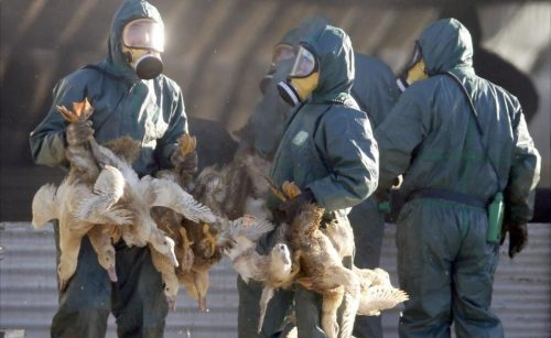 Workers gather ducks to be culled in Latrille  France  January 6  2017  after France ordered a massive cull of ducks in three regions most affected by a severe outbreak of bird flu as it tries to contain the virus which has been spreading quickly over the past month     REUTERS Regis Duvignau