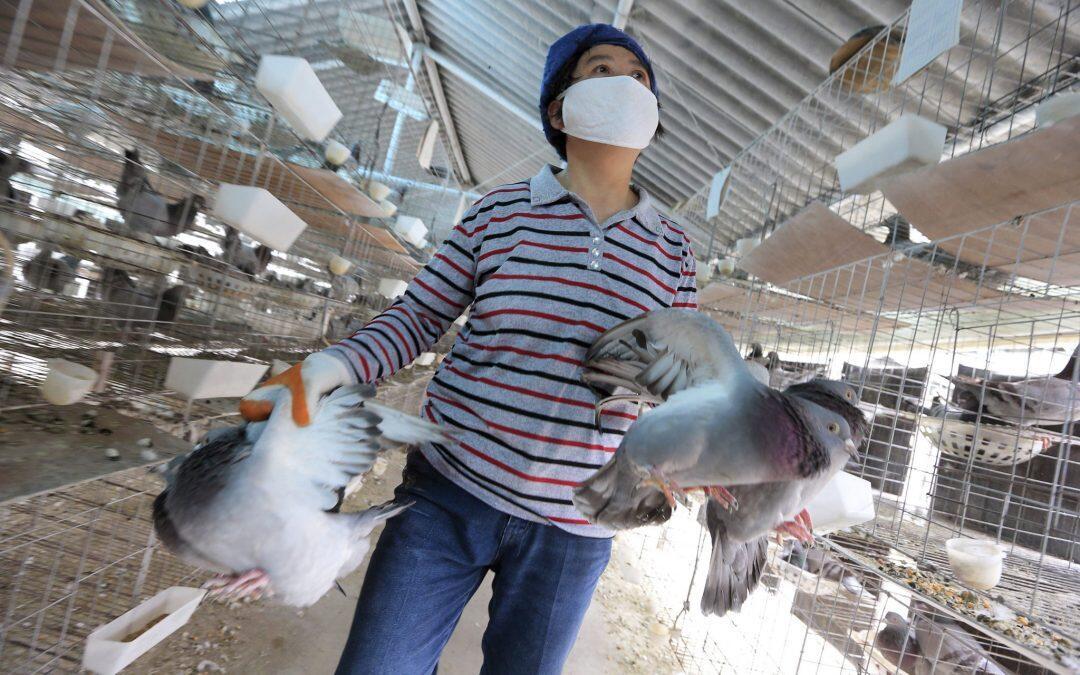 Pollos editados genéticamente para evitar nuevas pandemias de gripe aviar!!!