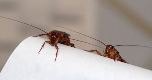 Nacen, crecen y con CRISPR desaparecen: cucarachas estériles para acabar con las plagas