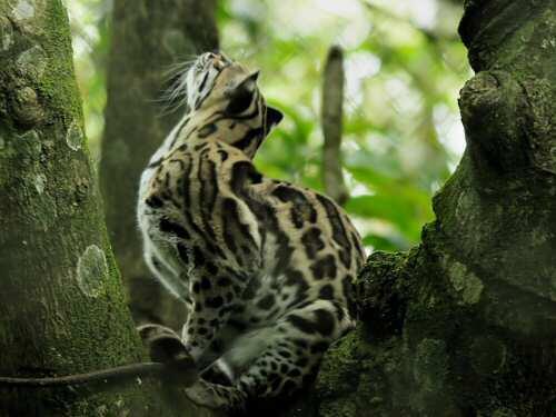Los gatos silvestres bajo el afecto de  los cambios en los bosques nativos !!