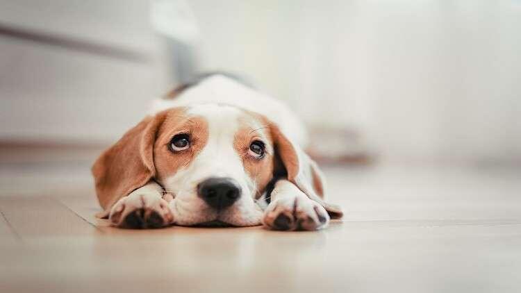 """كلاب """"تشتم"""" السرطان في الدم بدقة 97%!"""