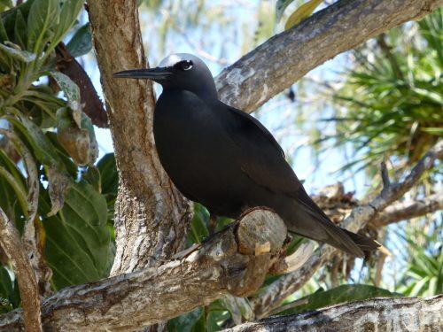 El árbol que que asesina aves, intriga a los científicos.