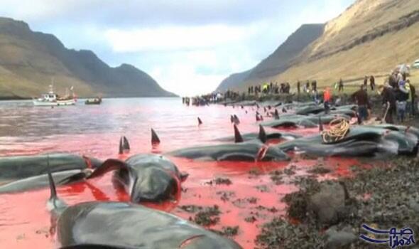 """صيادون يذبحون العشرات من الحيتان والدلافين في جزر """"فارو"""""""