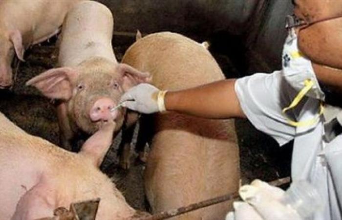 فيتنام تعدم 1.2 مليون خنزير وسط تفش لحمى الخنازير الأفريقية
