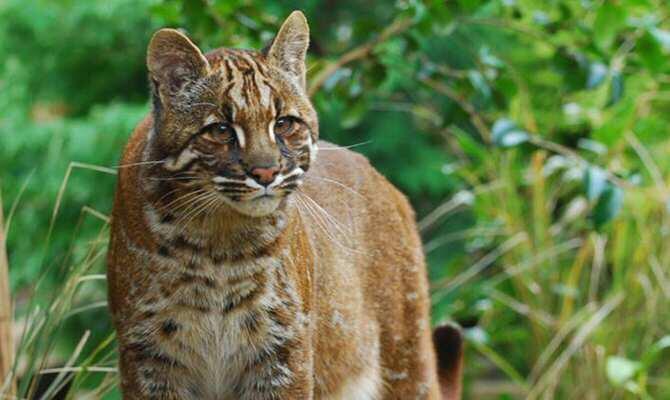El gato dorado asiático exhibe seis 'looks' diferentes al noreste de la India