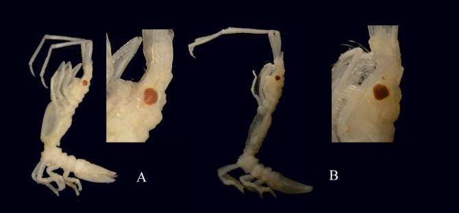 Describen una nueva especie de crustáceo en el Cantábrico