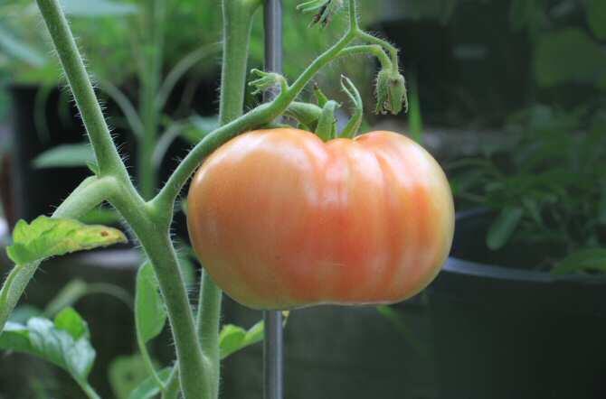Trabajan para disminuir el uso de pesticidas en cultivos de tomate
