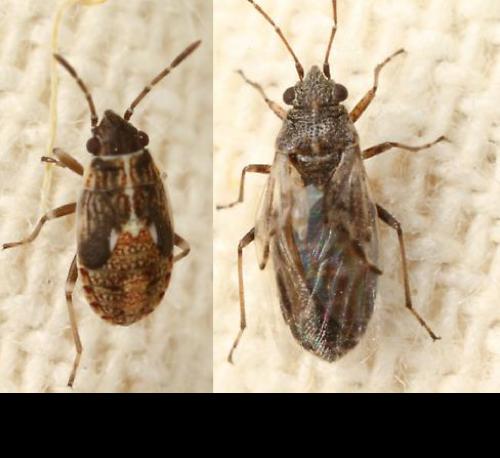 False-Chinch-bug-juvenile-and-adult-01
