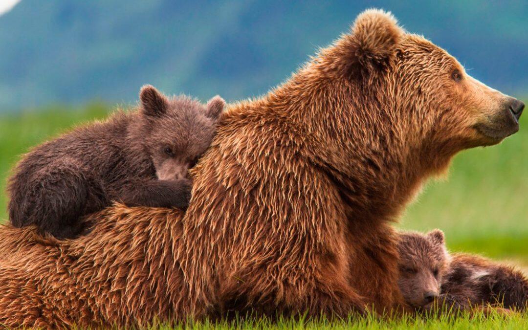 ¿Por que los ataques del oso pardo, ya ocurren mas?