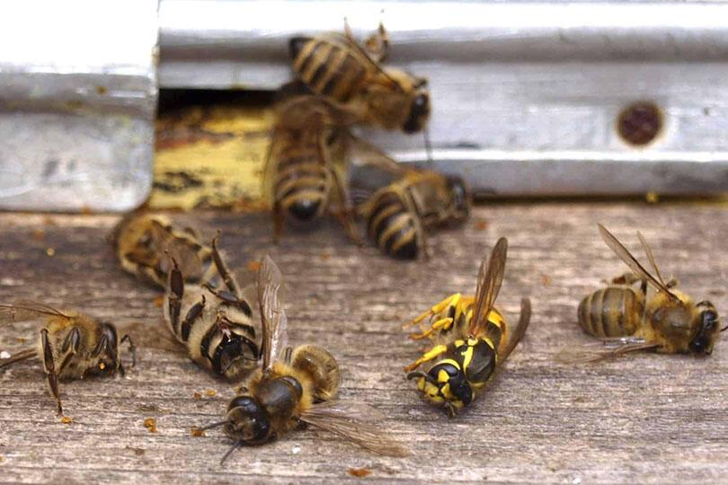 النحل يموت في كاليفورنيا فى ظاهرة غريبة تثير الرُّعب