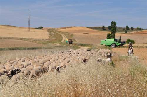 La dispersión de semillas por el ganado deja una huella genética en las plantas