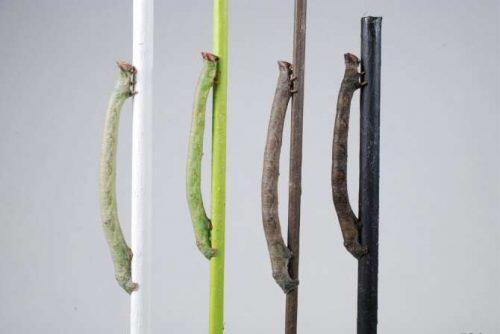 5360_la-larva-que-puede-ver-los-colores-a-traves-de-la-piel