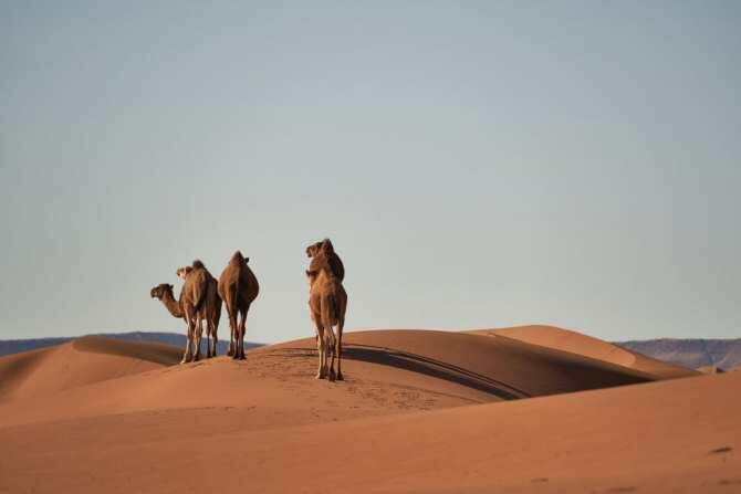 Cómo seleccionar los mejores camellos para revalorizar la cadena de valor del sector en el norte de África
