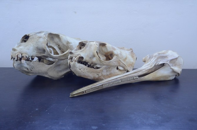La reducción en la talla media de los peces causada por las pesquerías en el Río de la Plata beneficia al delfín franciscana