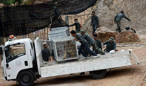 نفوق عشرات النمور المصادرة من معبد تايلاندي