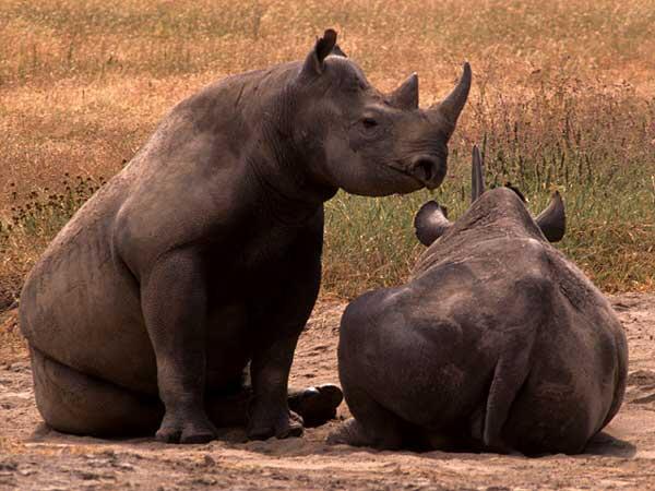 نقل 9 من وحيد القرن الأسود النادر إلى تنزانيا ضمن خطة لزيادة أعداده