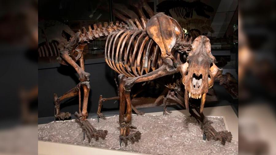 Descubren restos del temible tigre dientes de sable en Canadá