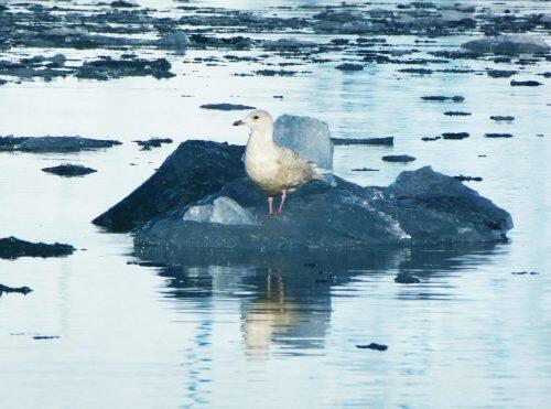ave-ártico-guano-territorio-informativo
