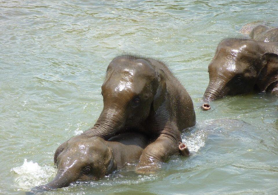 Elefantes pierden la vida tratando de salvarse unos a otros en una cascada