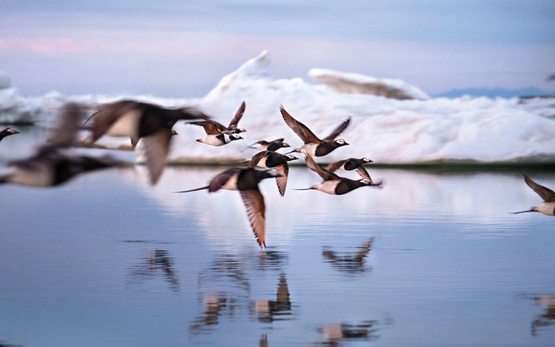 A causa del calentamiento global,  se adelanta el periodo reproductor de algunas aves marinas árticas!!!!