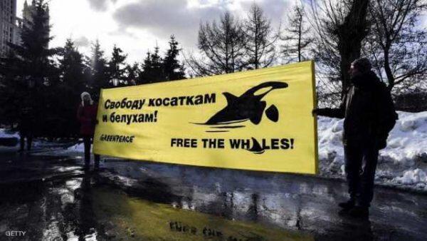 بأمر من بوتين.. روسيا تحرر الحيتان المحتجزة