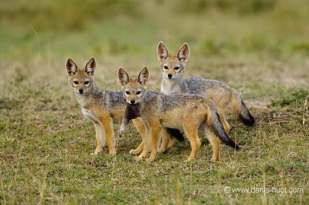 تصطاد بنات آوى الذهبية (Canis aureus ) فرادى وفي مجموعات بين 2 الى 5 وهو ما يسمح لها  بالنيل من طرائدها ومنها ما هو بحجمها وأحيانًا يفوقها حجماً مثل الخنازير البرية مما يساعد على تنظيم أعدادها