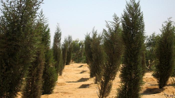 مصر تنتج الغابات في الصحراء بمياه الصرف الصحي!