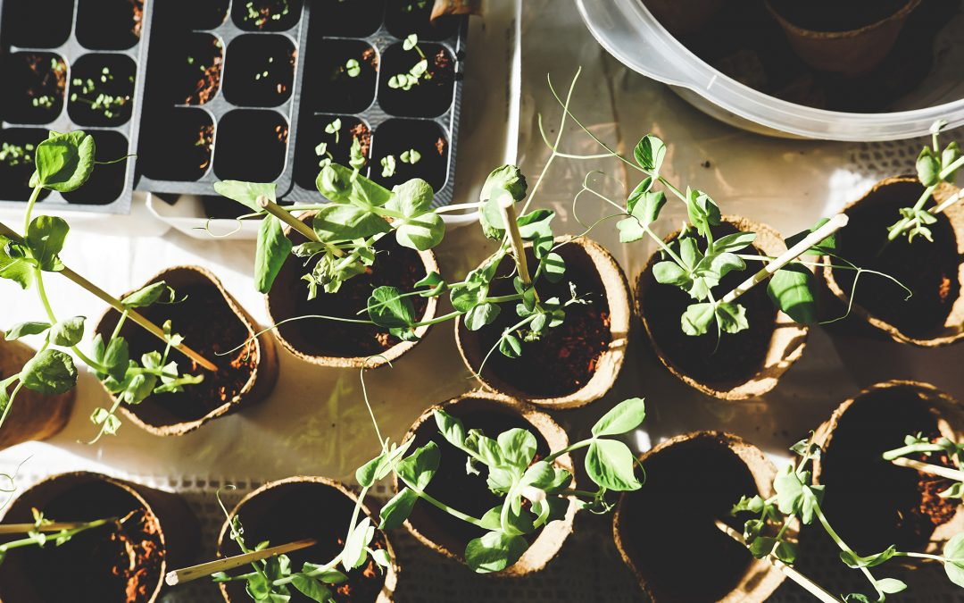 Indoor Culture , Growing edible plants from scraps inside your house on a budget; Here's how