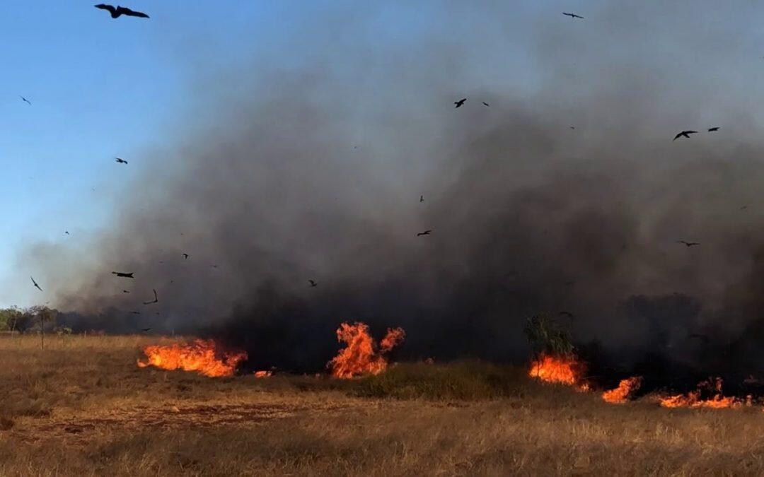 """""""عاشق النار"""" .. طائر يفاقم أزمة الحرائق والقانون الأسترالي  يمنع صيده!"""