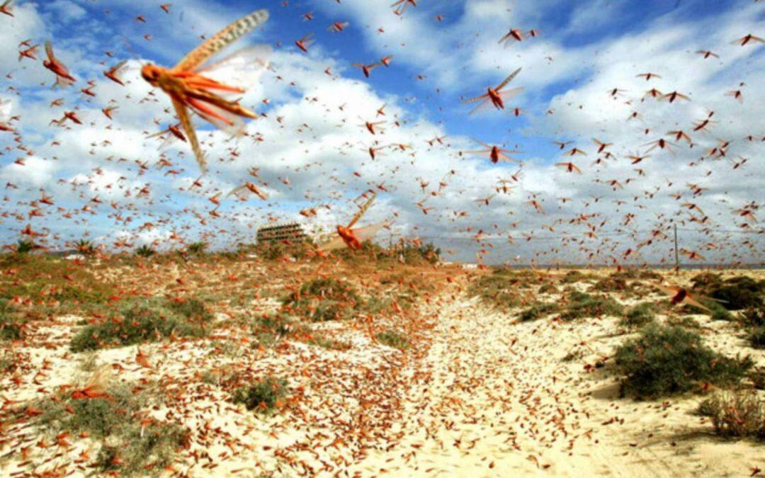 كارثة الجراد الصحراوي … أعداد قد تزيد 500 ضعف