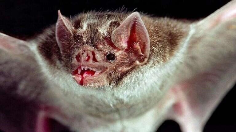 """الخفافيش مصاصة الدماء """"تشكل صداقات"""" وتنقذ زملاءها من الجوع بـ""""قبلة فرنسية"""""""