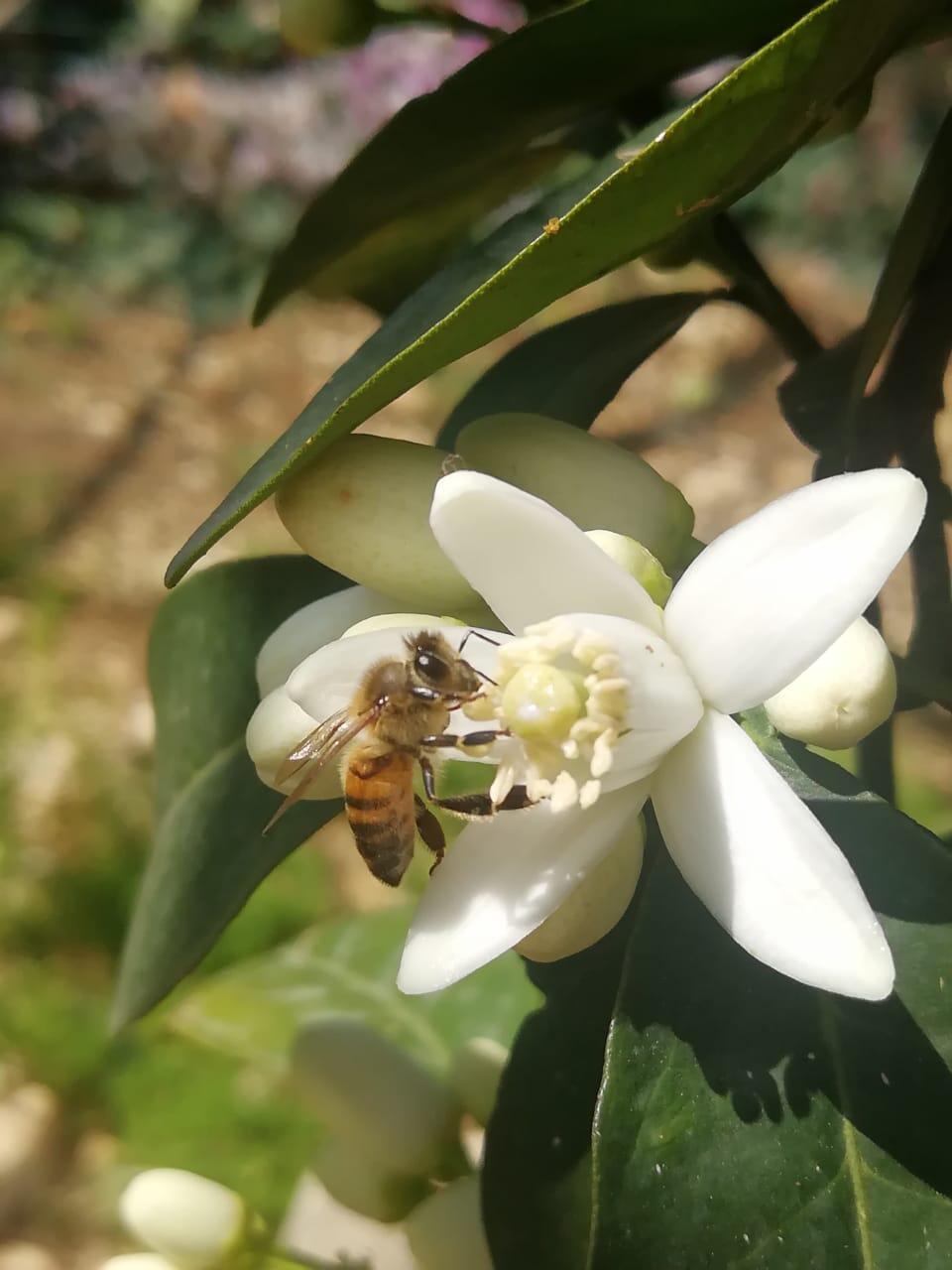 مصلحة الابحاث العلمية الزراعية: لعدم رش المبيدات الحشرية مع تفتح ازهار الحمضيات