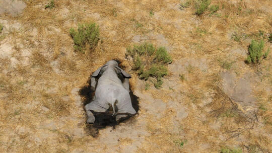 نفوق غامض يهدد الأفيال الإفريقية بالانقراض