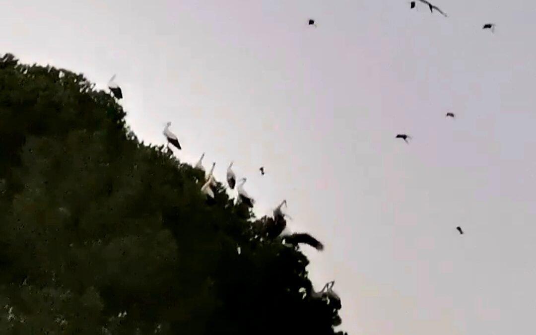 طيور اللقلاق عبرت سماء عكار