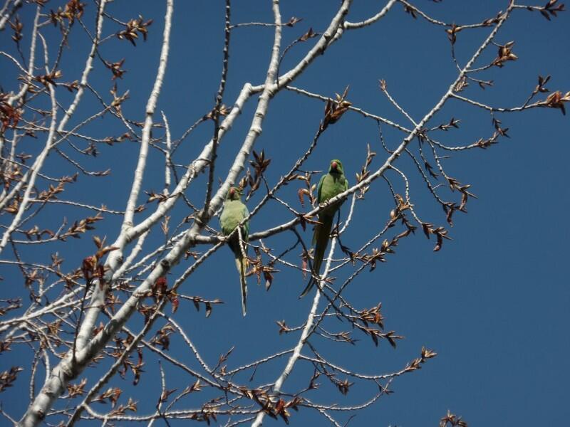 طيور الببغاء في حدائق جديدة مرجعيون والبلدية ناشدت تجنب اصطيادها