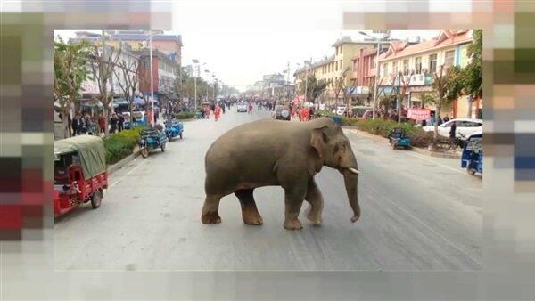 قطيع من الأفيال البرية يتجول في الشوارع الصينية