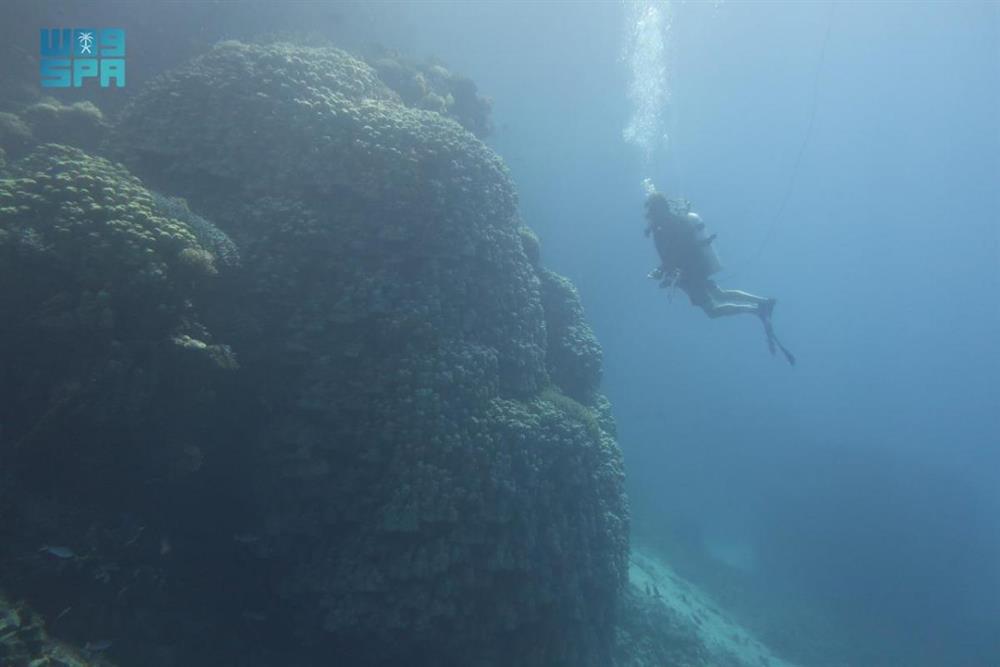 السعودية: اكتشاف مستعمرة مرجانية ضخمة في البحر الأحمر تعود لـ600 عام