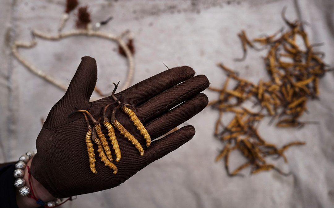 Beautiful photos of Tibetan nomads' search for a prized fungus used in Chinese medicine