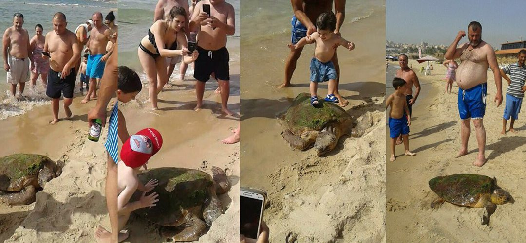 "Sea Turtle in Lebanon victim of selfie… and ""Greenarea International"" seeks to rescue it"