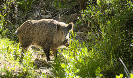Madrid Turns to Archers to Solve Its Wild Boar Problem