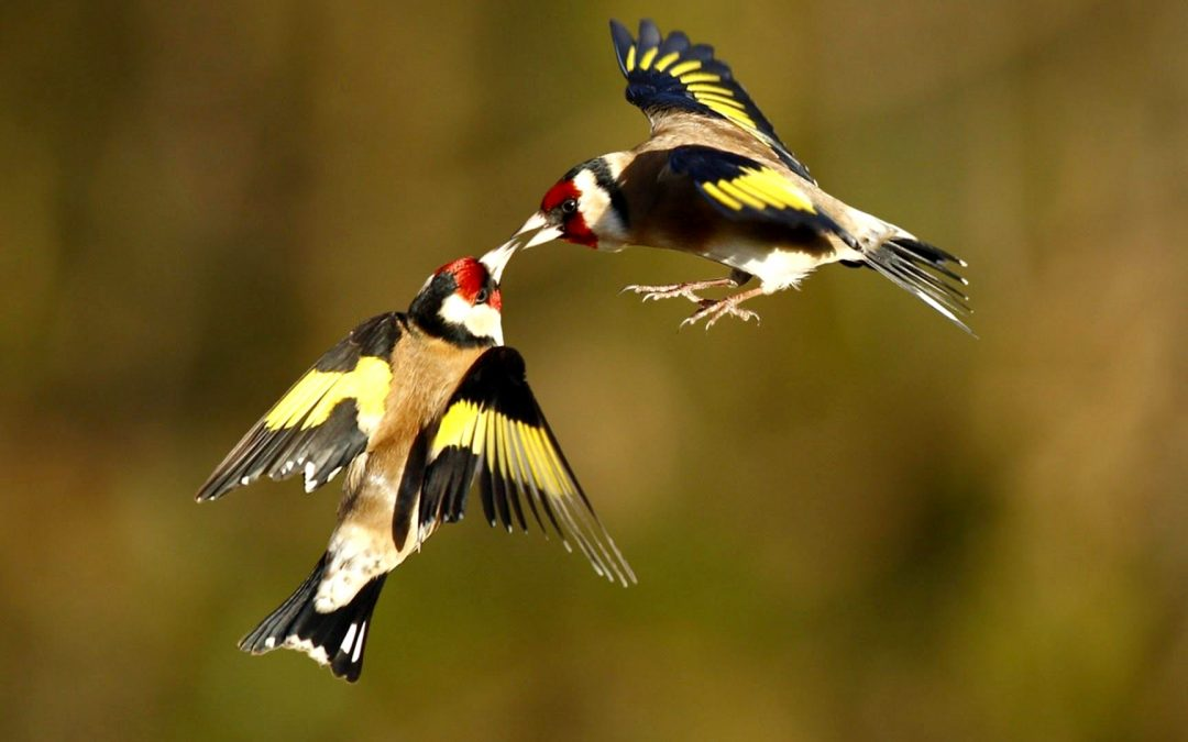 بلديات جبل الشيخ تمنع التعرّض لطيور الحجل والحساسين لـ 3 سنوات حتى أثناء موسم الصيد
