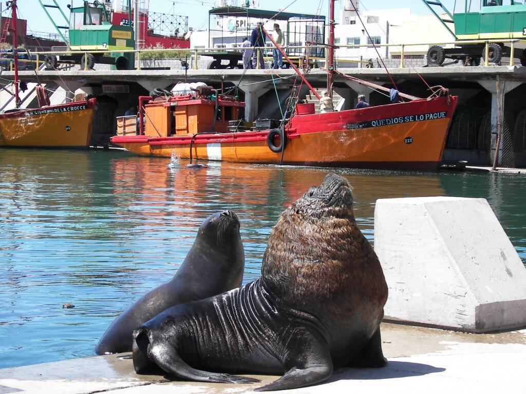 Las altas temperaturas del mar pueden afectar a los lobos marinos ...