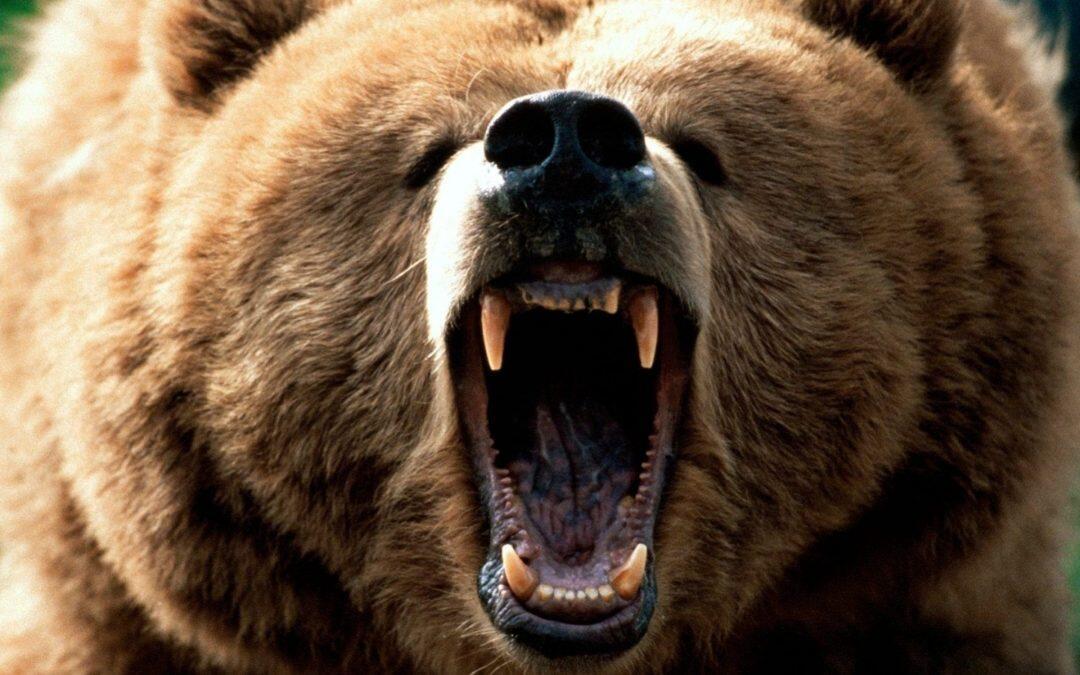 Did you knowa bear has 42 teeth