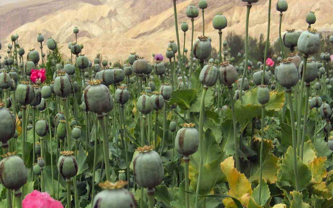 تقرير المخدرات العالمي: الأفيون الأكثر ضرراً