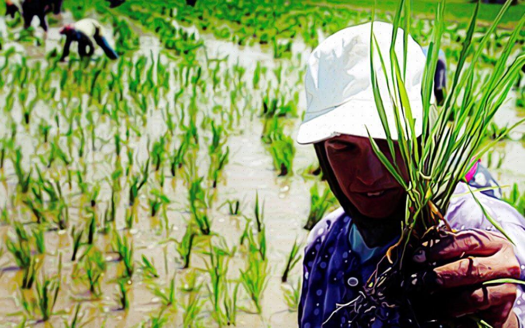التغير المناخي يضعف الخصائص الغذائية  للمحاصيل .. الرز في الطليعة