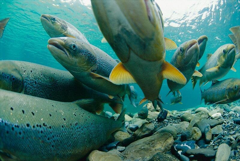Captan a enorme pez de dos metros comiéndose aun tiburón